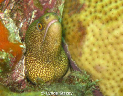 the image is of a small moray eel that I found by the sid... by Lynda Stacey 